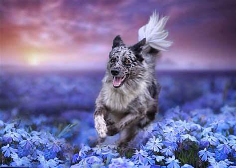 Animal Border Wallpaper - border collie hd wallpaper background image 2048x1462
