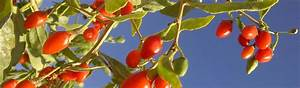 Goji Beeren Trocknen : die goji frucht ~ Lizthompson.info Haus und Dekorationen