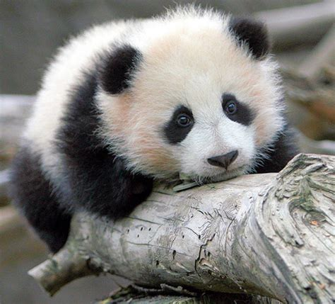 Cute Baby Panda Pictures