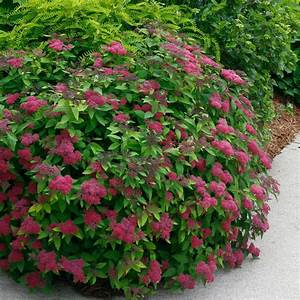 Spirea Double Play U00ae Red