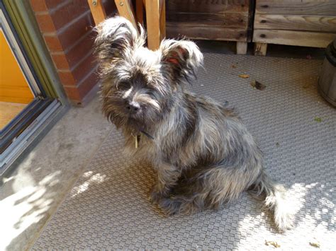 Cairn Terrier Shed Hair by Stripping Terrier Stripping Grooming For