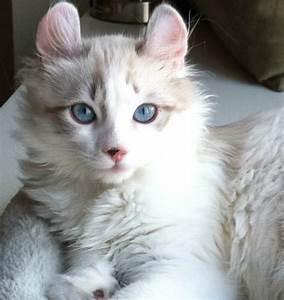 white cat american curl american curl kitten american curl ...