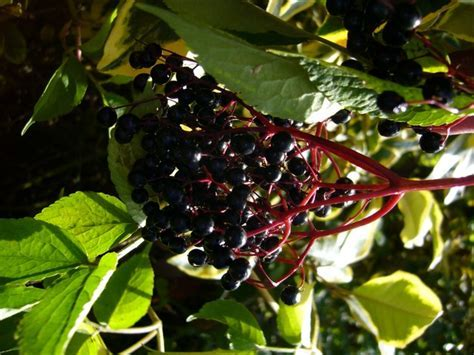 Elderberry   Samyl   My Edible Landscape