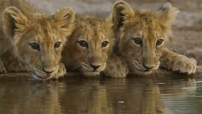 Lion Cubs Lions Asiatic Gir Gujarat Wallpapers