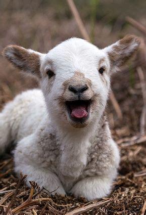 cute baby sheep laying  straw luvbat