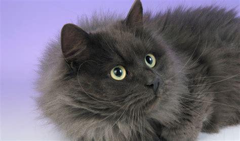 siberian cat hair shedding siberian cat breed information