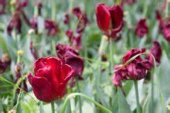 Tulpenzwiebeln Im Topf Pflanzen : tulpenzwiebeln bersommern so lagern sie sie richtig ~ Lizthompson.info Haus und Dekorationen