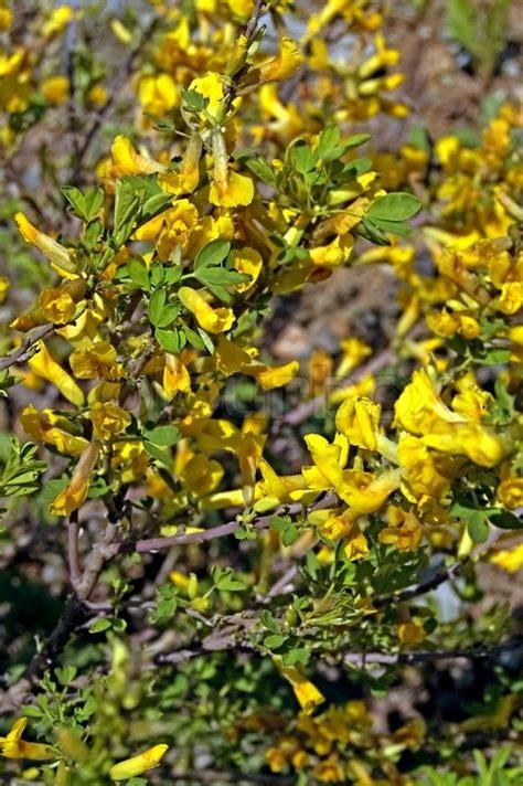 bl 252 hende akazien busch mit gelben bl 252 ten und gr 252 nen bl 228 ttern auf einem hintergrund brauner