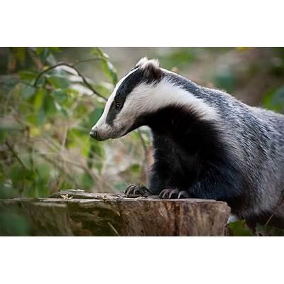 Image Gallery european badger