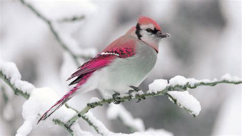 full hd wallpaper bird branch snow pink desktop