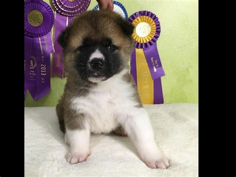 akita puppies for sale near saratoga springs new york