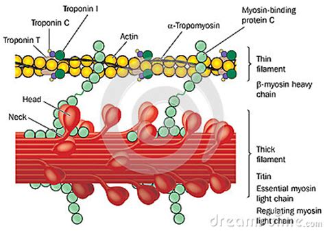 detail  muscle physiology stock vector image