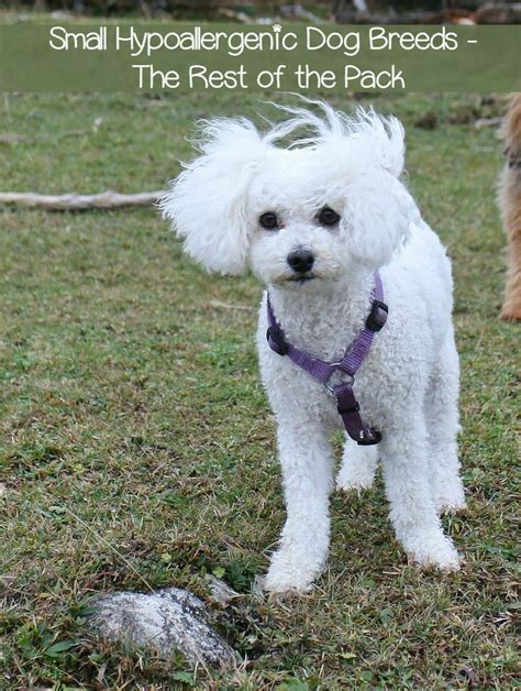small non shedding hypoallergenic breeds 17 best ideas about hypoallergenic breed on