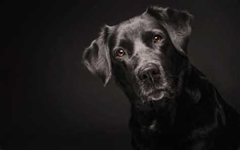 black dog wallpaper hd earthly wallpaper p