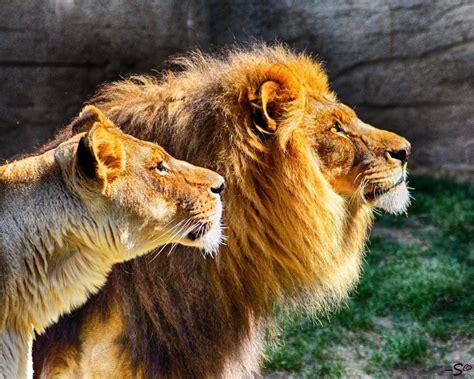 tulsa zoo mourns beloved kofi  lion tulsa zoo