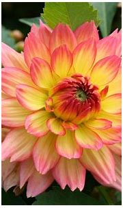 National color on the Mexico Dahlia orange yellow flower ...