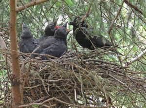 Northwestern Crow Nest