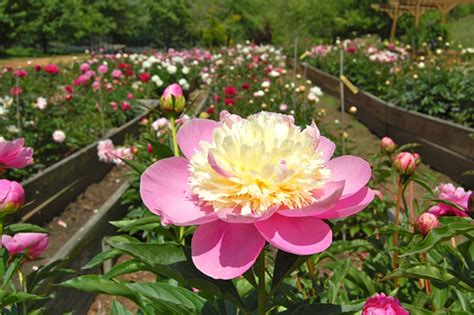 do peonies like sun or shade mother s day buy haywood