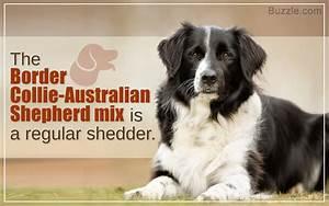 Characteristics of the Australian Shepherd-Border Collie Mix