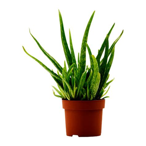 plante pour chambre à coucher aloe vera plante en pot ikea