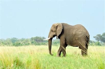 African Wcs Elephant Elephants Maher Larsen Julie