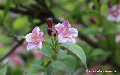 weigela shrubs weigela pictures weigela flower pictures weigela bush pictures