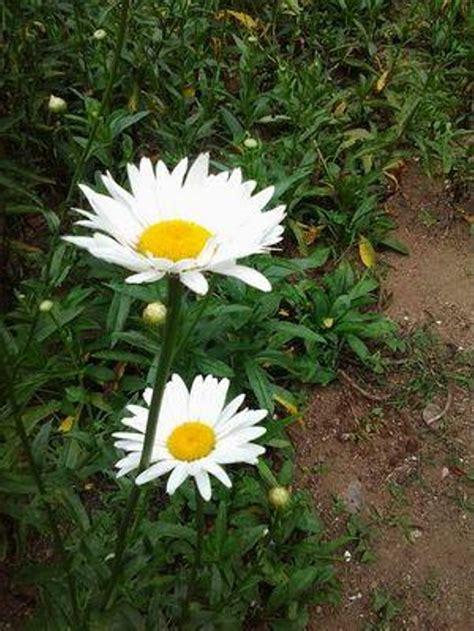 jual tanaman bunga aster putih lapak rancupid farm
