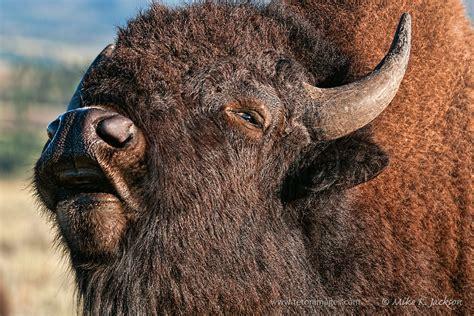 bison lip curl teton images