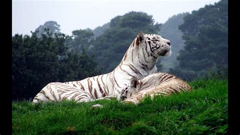 Discovery Channel Animal Wallpapers - wildlife animals white tiger documentary animal planet