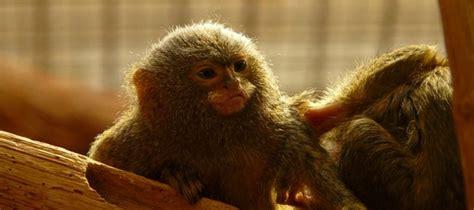Otkrivena nova vrsta najmanjeg majmuna na svetu! | Osnovne ...