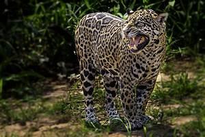 Jaguar Facts (Panthera onca)  Jaguar