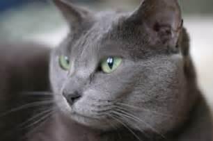 russian blue cat breeders cat breeds russian blue russian blue cat breeds and 0