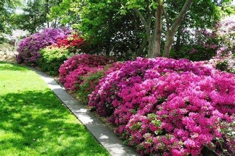 cura azalea in vaso azalea cura piante da giardino come curare l azalea