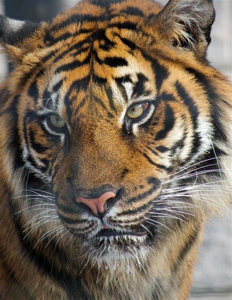 Vicious Tiger Big Small Cats Pinterest