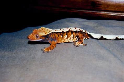 Crested Gecko Halloween Morph For Sale Uk 1000 ideas about crested gecko on pinterest geckos