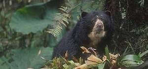 Spectacled bear   WWF