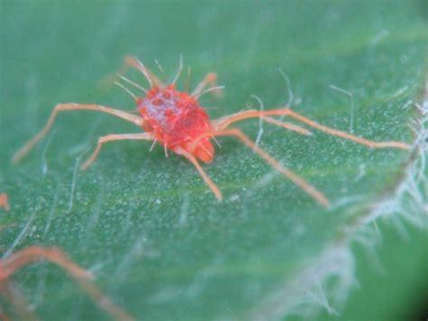 Spider Mites web gallery