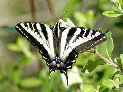 Butterfly Butterflies Wallpapers Legend Indian Normal Swallowtail