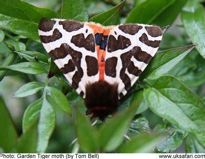 garden tiger moths arctia caja uk safari