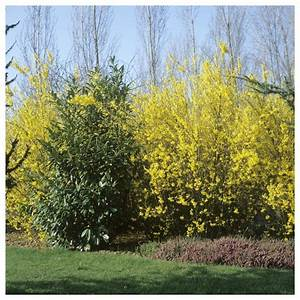 Arbre à Croissance Rapide Pour Ombre : haie fleurie qui pousse vite trendy les arbustes qui ont ~ Premium-room.com Idées de Décoration