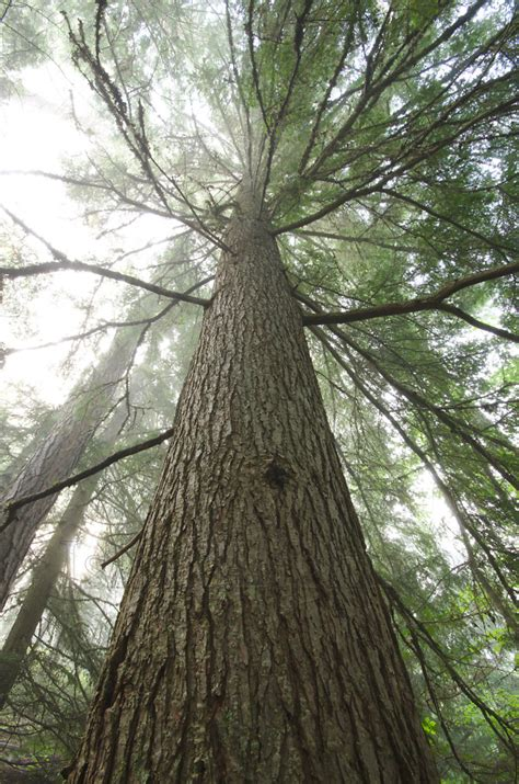 hemlock trees hemlock elder hemlock tree photo from slocan valley british columbia canada island light