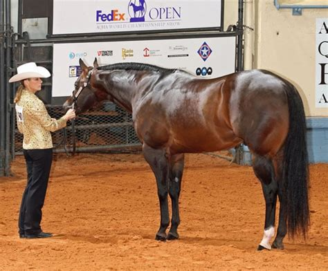 quarter horse american aqha horses halter facts breed stallion showing stallions breeds history champion profile information journal equitrekking classic interesting