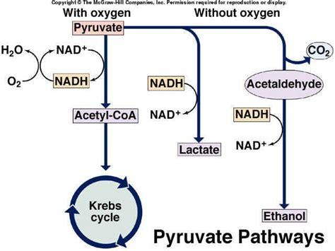 cellular respiration biochemistry metabolism pinterest