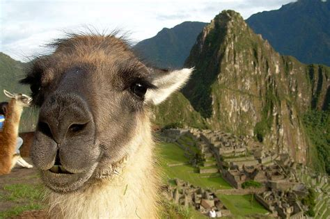 machu picchu alpaca fiedler katy headlines luther contest edu