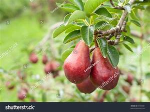 Close Ripe Red Bartlett Pears On Stock Photo 97703081