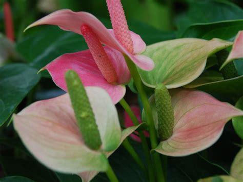 Lange Blühende Pflanzen by Lang Bl 252 Hende Zimmerpflanzen Flamingoblume