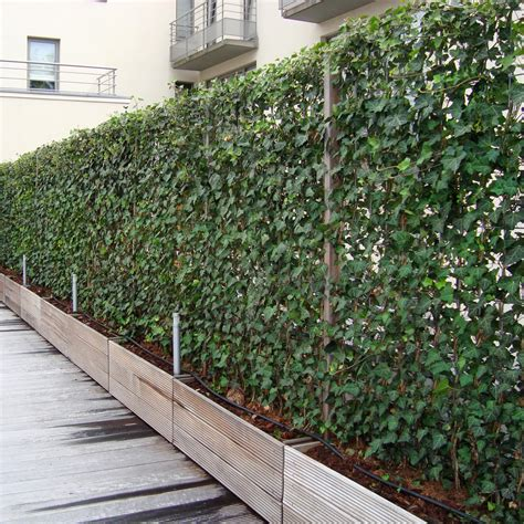 plants that grow up fences impact plants supplies living green screens instant screens of ivy growing on wiremesh supplied