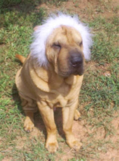 Do Shar Peis Shed Hair by Haired Beagle Mix Puppies Breeds Picture