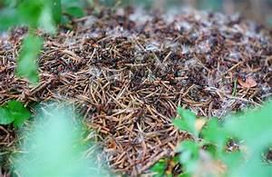 Anti Fourmi Naturel : d truire un nid de fourmis 10 trucs savoir anti ~ Carolinahurricanesstore.com Idées de Décoration