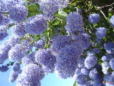arbuste a fleur photo arbuste 224 fleurs bleues